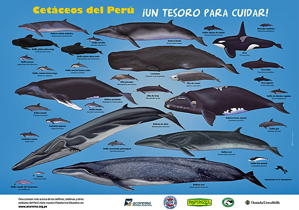 a comparison of dolphins and porpoises two sea mammal species Dolphins & porpoises species most likely to be encountered common dolphin (delphinus delphis) a pelagic species, measuring up to 25 metres, black/dark grey dorsally, white ventrally, with a characteristic 'hour glass' pattern along its flanks and a long 'beak' (rostrum.